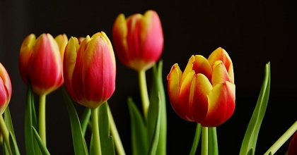 tulips 351x185 - 1 Day Until a Bonded Courier From Some Tulip Trust Delivers Keys to $8 Billion in BTC