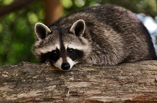 raccoon 214x140 - Electrum, Exodus and Jaxx Wallets Vulnerable to Raccoon Malware