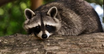 raccoon 351x185 - Electrum, Exodus and Jaxx Wallets Vulnerable to Raccoon Malware